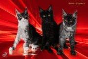 Котята мейн-кун шоу класса и для души
