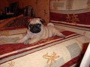 Продаются очаровательные щенки мопсов